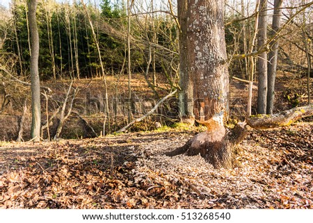 Habitat beavers. Trees in woods gnawed by beavers. Poland. Europe.