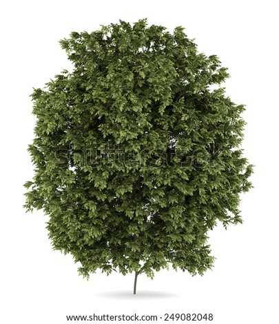 hackberry tree isolated on white background