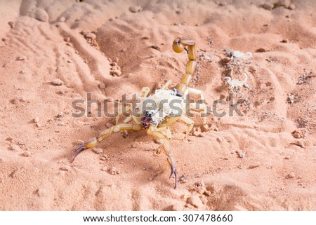 Hadrurus arizonensis, the giant desert hairy scorpion: The baby  climbs onto the back of the mother  - stock photo