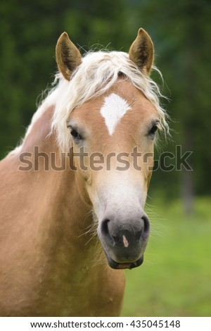 Haflinger horse at meadow - stock photo