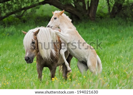 Haflinger horses, foal playing with its mom in a pasture - stock photo