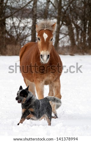 Haflinger playing with Australian Cattle dog on a snowy pasture - stock photo