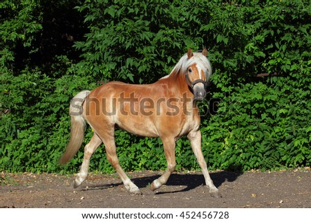 Haflinger, sorrel pony, portrait against summer green bushes