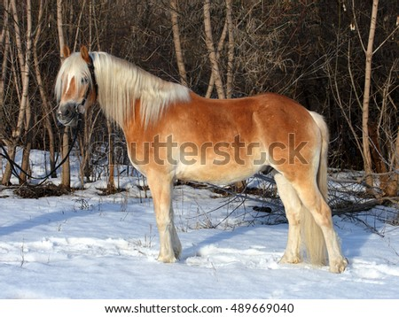 Haflinger, sorrel pony, portrait against winter snow bushes