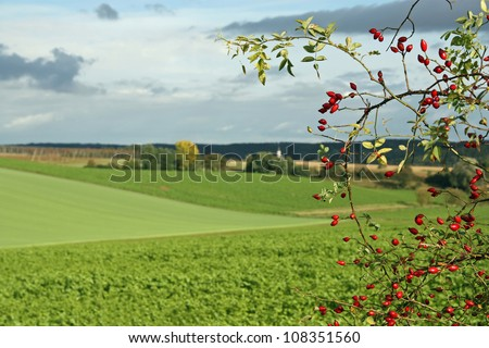 Hagebuttenzeit, Dog roses infront of fields - stock photo
