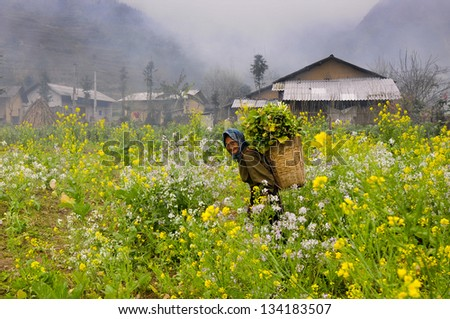 HAGIANG, VIETNAM, FEBRUARY 15: A ethnic minority old woman in a field of rapeseed flower on February 15, 2013 in Hagiang, Vietnam. Hagiang is a northernmost province in Vietnam
