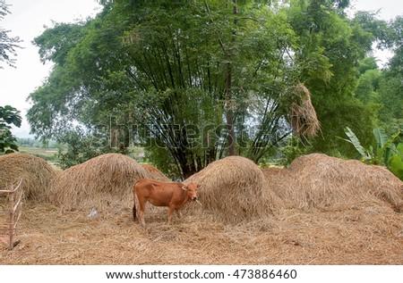 HAI DUONG, Vietnam, August 14, 2016 cows, stood eating dry straw, rural Hai Duong, Vietnam