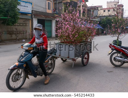 HAI DUONG, Vietnam, December 30, 2106 Gia Loc rural, Hai Duong province, to the peach blossom harvest, sell on the occasion of spring