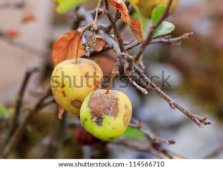 hailed apple, summer end, beginning of autumn - stock photo