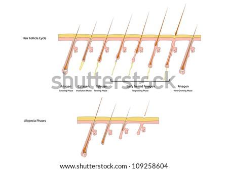 Hair follicle cycle and alopecia phases - stock photo