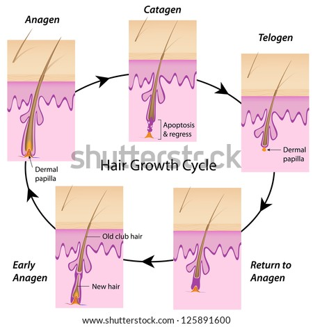 Hair growth cycle - stock photo