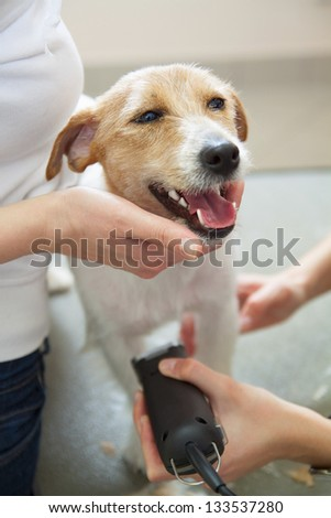 Hairdresser mows Jack Russell Terrier fur on the chest with a trimmer - stock photo
