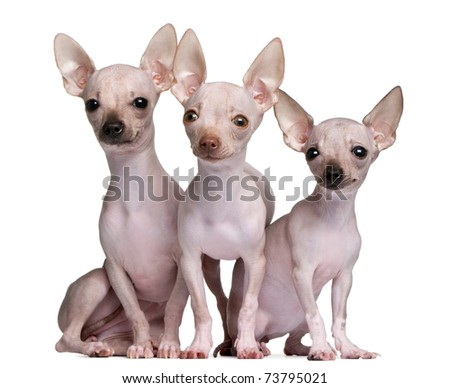 naked chihuahua hairless chihuahuas 5 and 7 months old in front of white 778