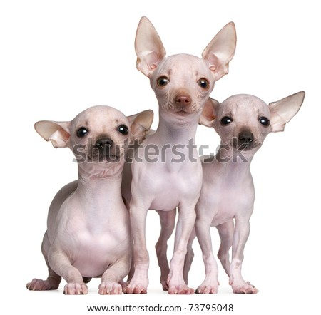 Hairless Chihuahuas, 5 and 7 months old, in front of white background - stock photo