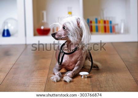 Hairless Chinese crested dog with stethoscope in laboratory - stock photo