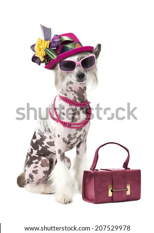 Hairless Chinese Crested dog with women accessories, looking at camera