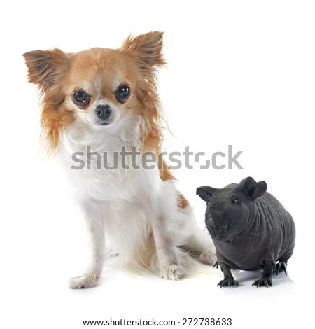 Hairless Guinea Pig and chihuahua in front of white background