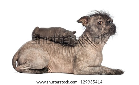 Hairless guinea pig lying on the back of a Hairless Mixed-breed dog, mix between a French bulldog and a Chinese crested dog, lying in front of white background - stock photo
