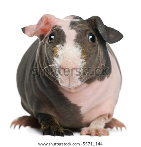 Hairless Guinea Pig standing against white background - stock photo