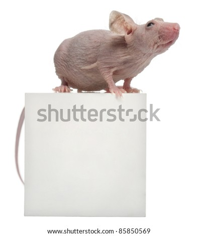 Hairless House mouse, Mus musculus, 3 months old, on box in front of white background - stock photo