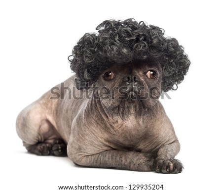 Hairless Mixed-breed dog, mix between a French bulldog and a Chinese crested dog, lying, looking at the camera and wearing a black curly wig in front of white background - stock photo