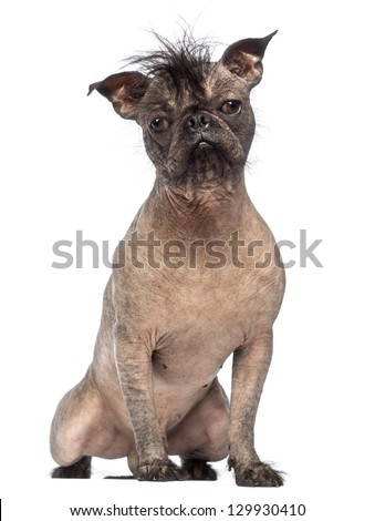 Hairless Mixed-breed dog, mix between a French bulldog and a Chinese crested dog, sitting and looking at the camera in front of white background - stock photo