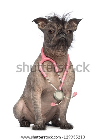 Hairless Mixed-breed dog, mix between a French bulldog and a Chinese crested dog, sitting with a stethoscope around the neck in front of white background - stock photo