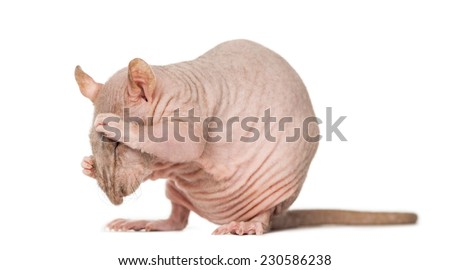 Hairless rat cleaning itself - stock photo