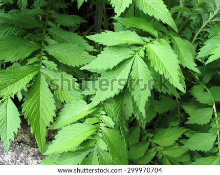 Hairy agrimony, Agrimonia pilosa - stock photo