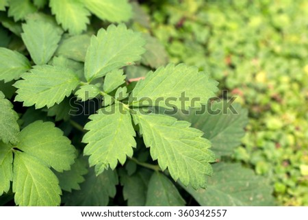 Hairy agrimony's green serrate leaves (Agrimonia pilosa)