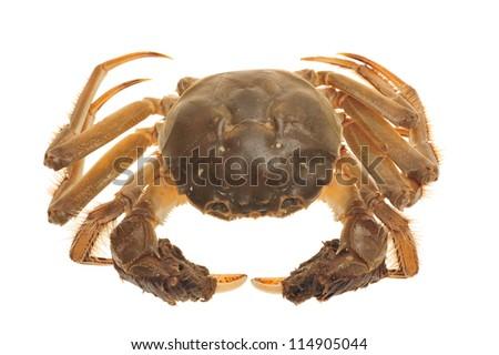Hairy Crab From China - stock photo