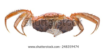 Hairy crabs  isolated on white background. - stock photo
