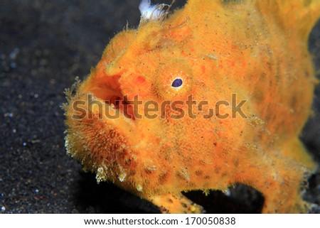 Hairy frogfish (Antennarius striatus) on the sandy sea floor - stock photo