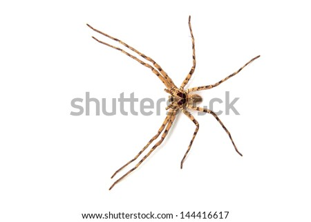 Hairy house spider