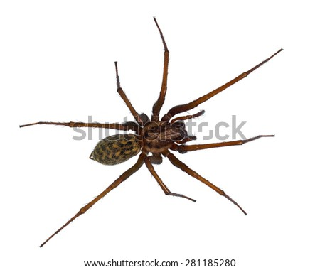 Hairy house spider (Tegenaria domesticus) on white background - stock photo