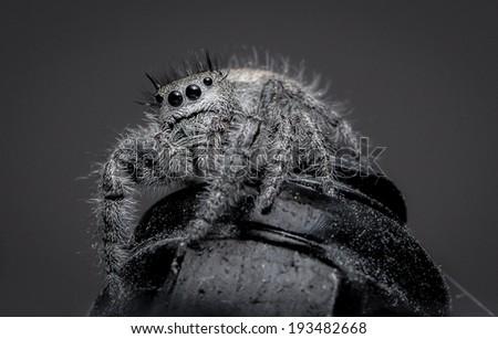 Hairy Jumping Spider indoors sitting on a metal nut - stock photo