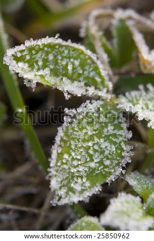 Hairy leaves covered with hoar