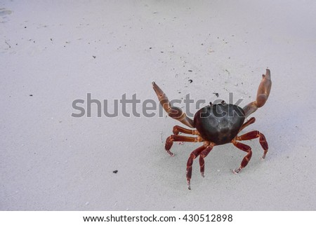 Hairy leg mountain crab on the white sand