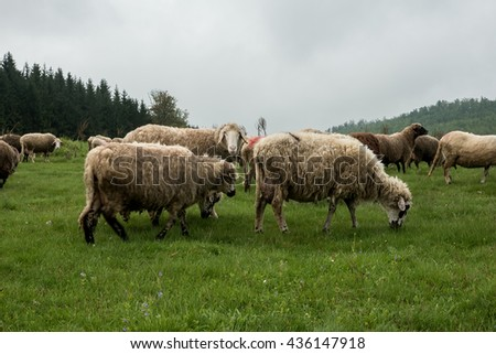 Hairy sheep on a green meadow in a mountain Brezovica, Serbia