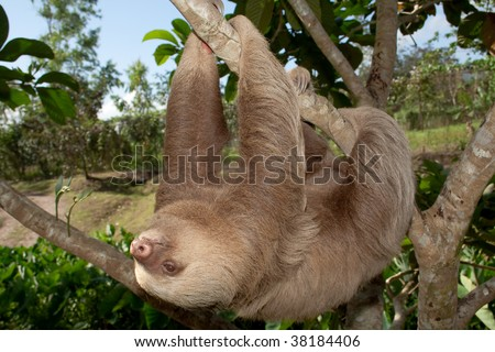 Hairy two toed sloth in slow motion - stock photo