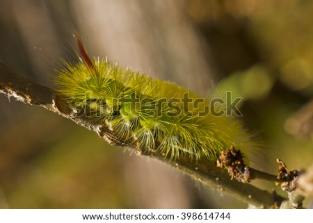 hairy yellow-green caterpillar - stock photo