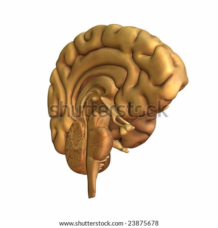 Half a brain displayed. Isolated on a white background - stock photo