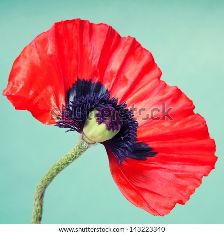 Half a red poppy flower on a faint green background - stock photo