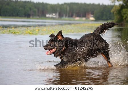 Half bernese sennenhund running in the water - stock photo