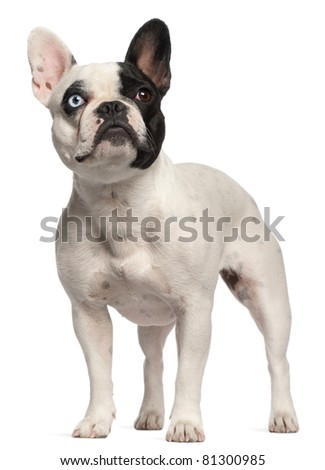 Half blind French Bulldog, 2 years old, standing in front of white background