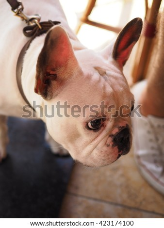 Half Body Portrait of an Adorable Cute White French Bulldog Looking to the Side
