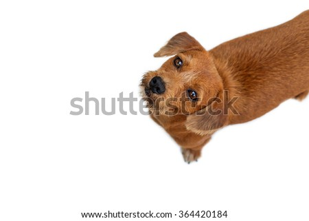 Half Breed Brown Dog on White Background - stock photo