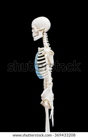 Half-length portrait of human skeleton isolated on black background.(side view)