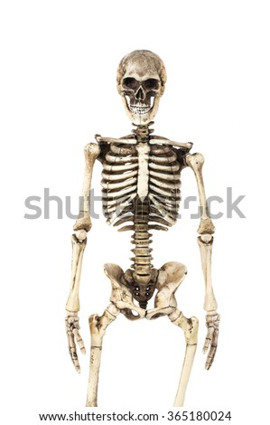 Half-length portrait of human skeleton isolated on white background.(front view) - stock photo