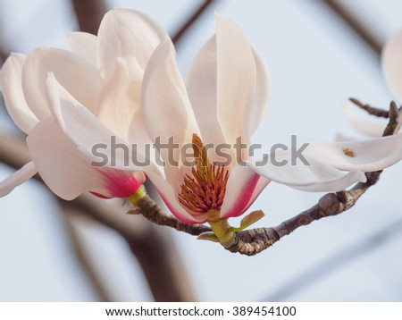 Half of Magnolia flowers. Blooming magnolia tree in the spring, soft nature background - stock photo